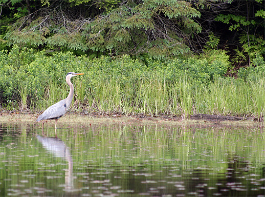 Great Blue Heron on Oxtongue Lake