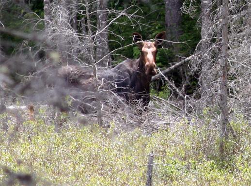Moose at Dizzy Lake