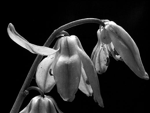 Blue Flowers (B&W) - Apr 23,2011
