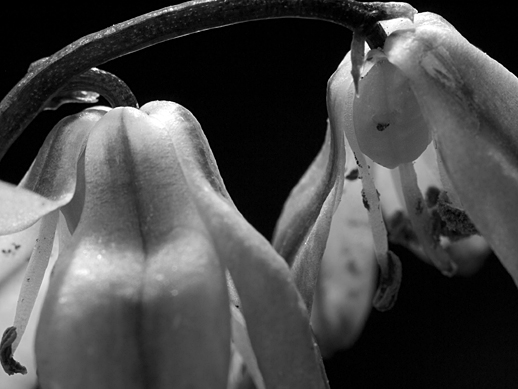Blue Flowers (B&W) - Apr 24,2011