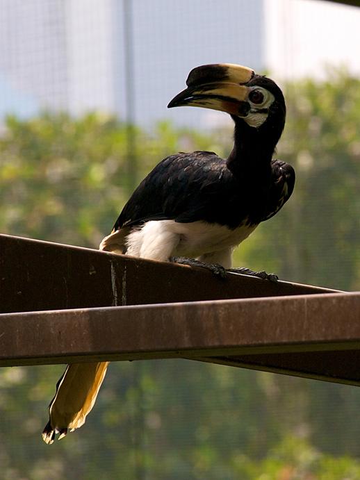 Kuala Lumpur Hornbill - May 31, 2011