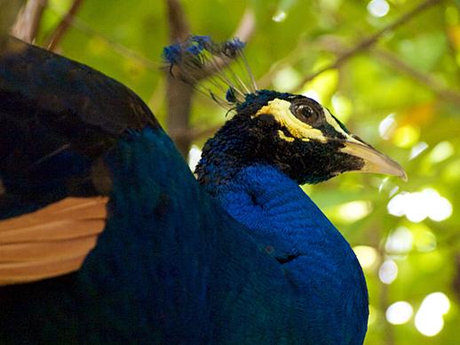 Kuala Lumpur Peacock - June 3, 2011
