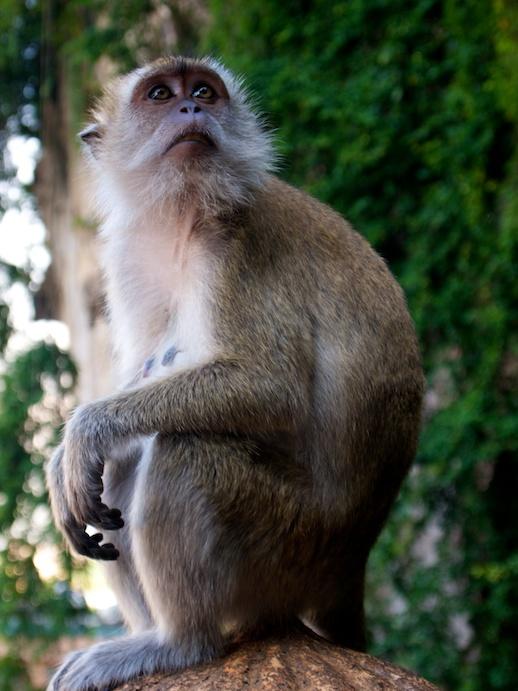 Kuala Lumpur Monkey - June 18, 2011