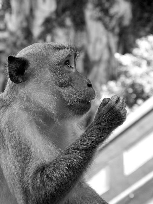 Kuala Lumpur Monkey Profile - June 27, 2011