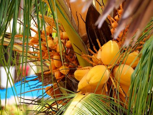 Pulau Redang Orange Coconuts - July 1, 2011