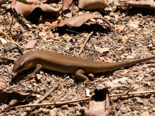 Lizard - July 20, 2011