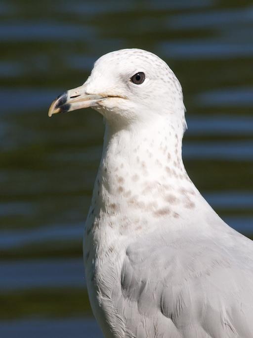 Seagull - August 1, 2011