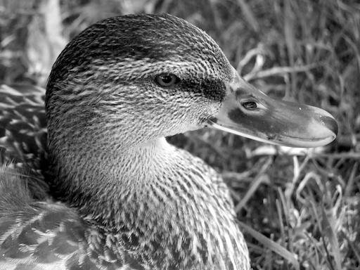 Duck - August 2, 2011