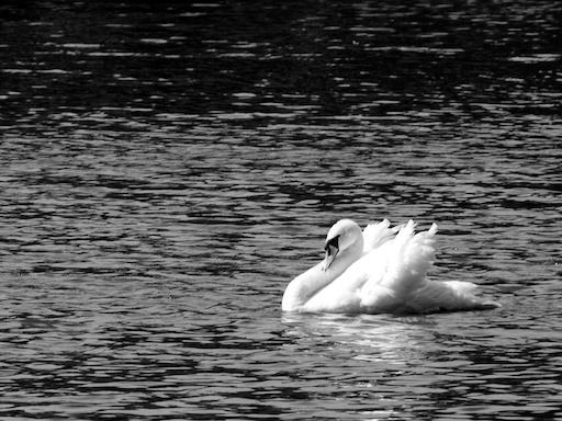 Swan - August 4, 2011