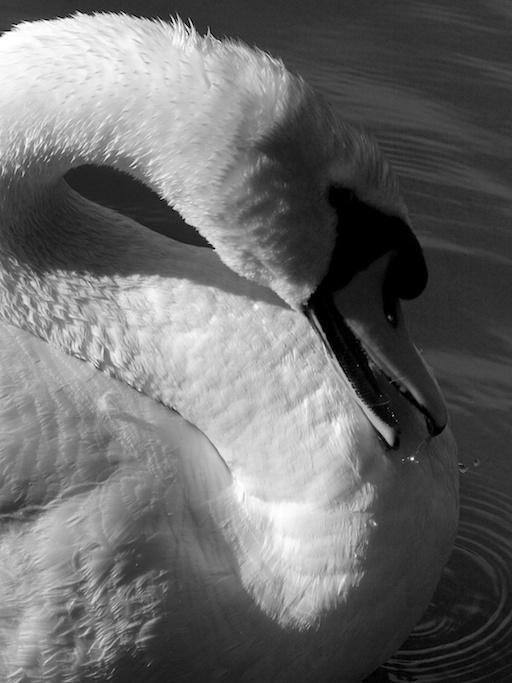 Sculpture - Swan 8, 2011