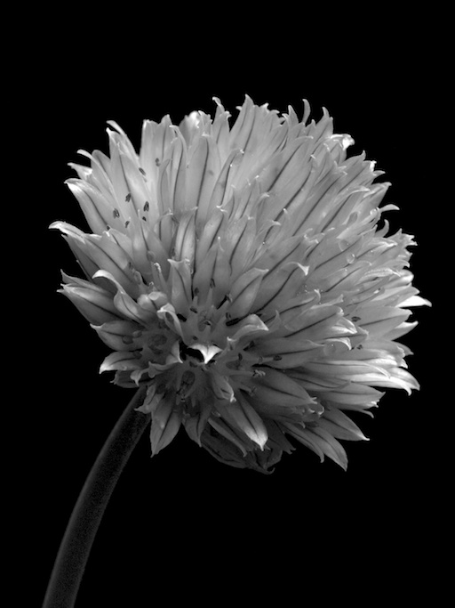 Chive Flower - September 17, 2011