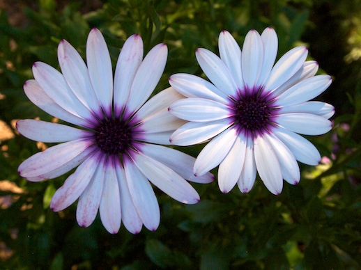 Purpleheart Daisies - October 3, 2011
