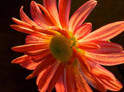Chrysanthemum - October 29, 2011
