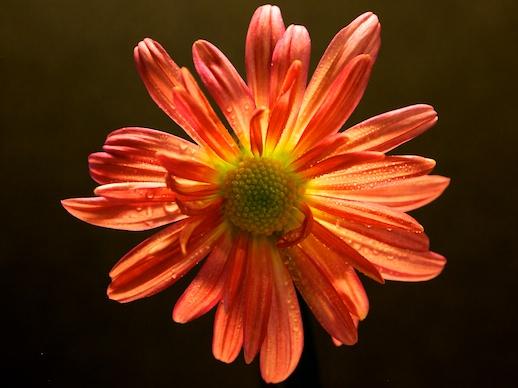 Chrysanthemum - November 1, 2011