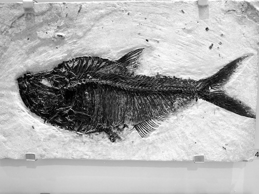 Fossil fish - November 16, 2011