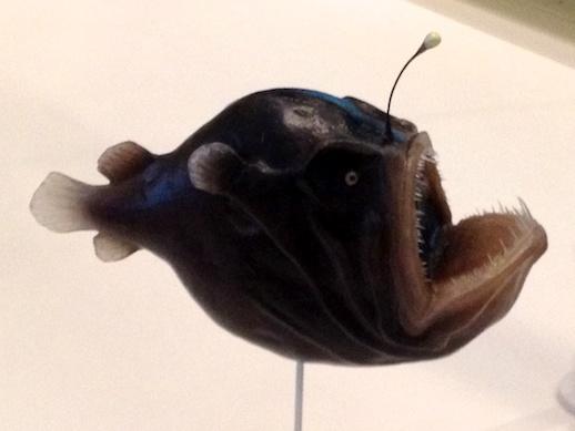 Angler Fish- November 23, 2011