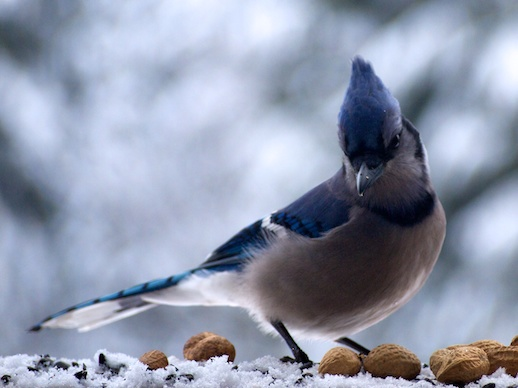 Blue Jay - January 2, 2011